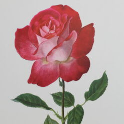 The Glory of the Rose